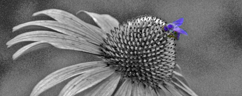 Echinacea_Fliege